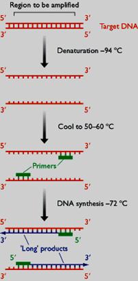 pcr反应包括三个步骤:双链dna在高温下形成单链(变性);低温下引物与